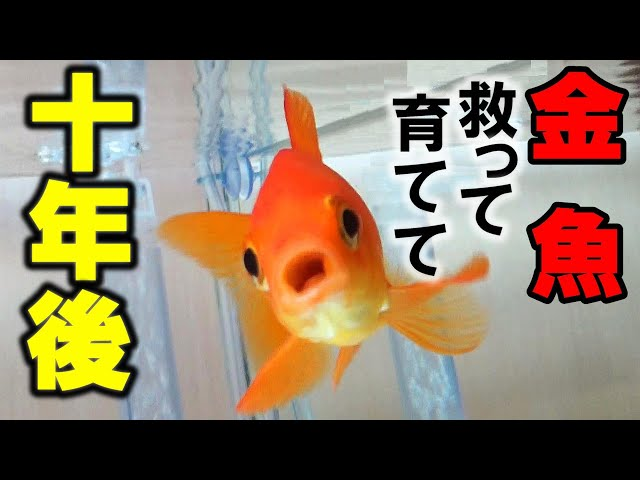 【祭りの金魚10年目】水槽リセット、立ち上げ!GEXメガパワー【金魚掬いで救った金魚】