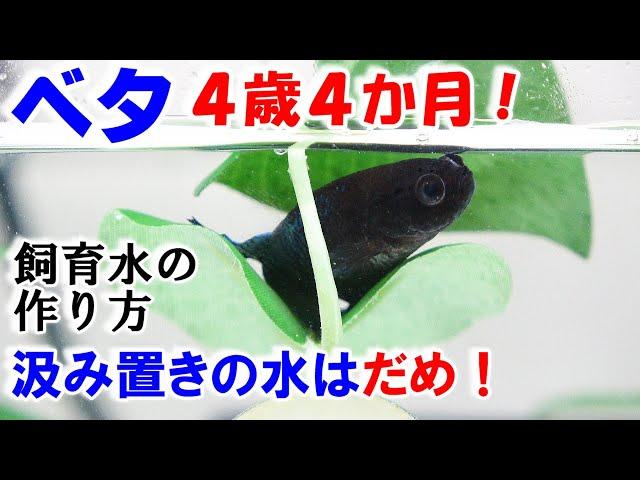 【ベタ】飼育水の作り方!その水、大丈夫!?【4歳4か月の水槽メンテナンス】bettafish breeding