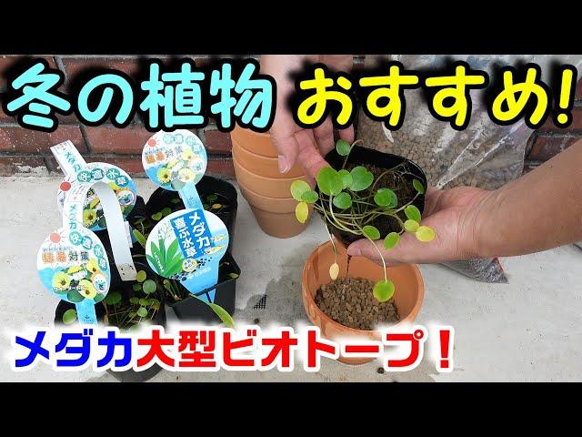 【メダカ】越冬できる、レア植物追加!これは凄く良さそう!【大型ビオトープ】