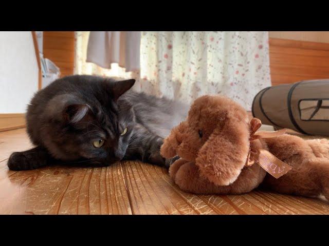 遊び相手に子犬を連れてきた時の猫の反応がコチラです【保護猫】