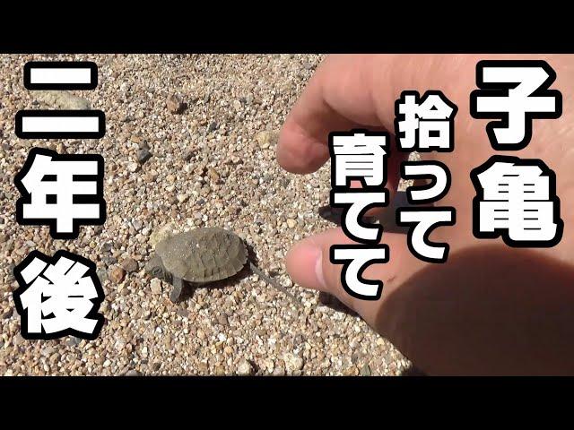川で拾った子亀、2年で巨大に!【天然石のイシガメ水槽60cm】