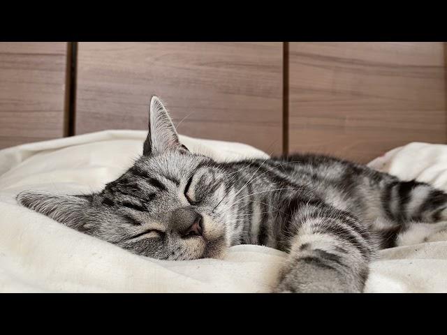 ふっかふっかのお布団で眠りこける猫のクレアさんの動画