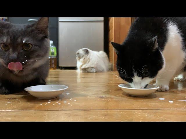 子猫と老猫にミルクをあげたら品格の差を見せつけられました【保護猫】