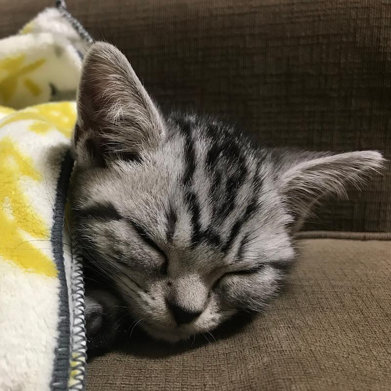 アメショーのクレア/Claire the cat