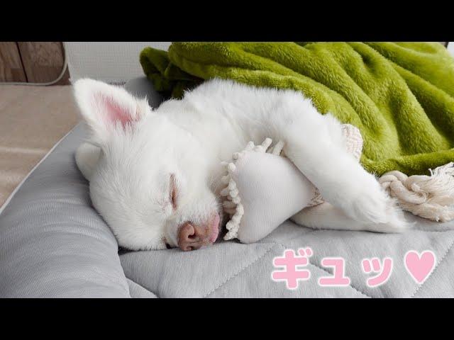 抱き枕で寝る天使の可愛い寝顔が見れました チワワのコハク