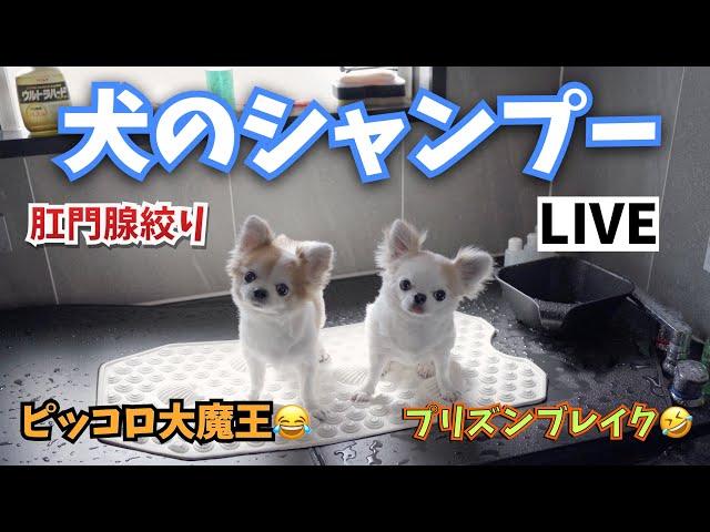 犬のトリミングLIVE🔴  【犬のシャンプー】【肛門腺絞り】【トリミング】