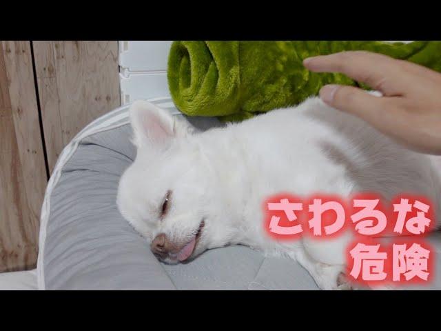 【凶悪】愛犬のあまりにも怖い裏の顔 チワワのコハク