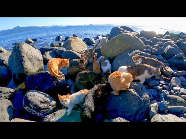 海辺に集まる島の猫たち