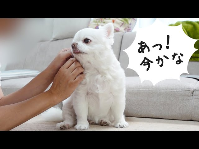 「チャ~ンス!?」わがままのタイミングを知っている犬 したたかなチワワのコハク