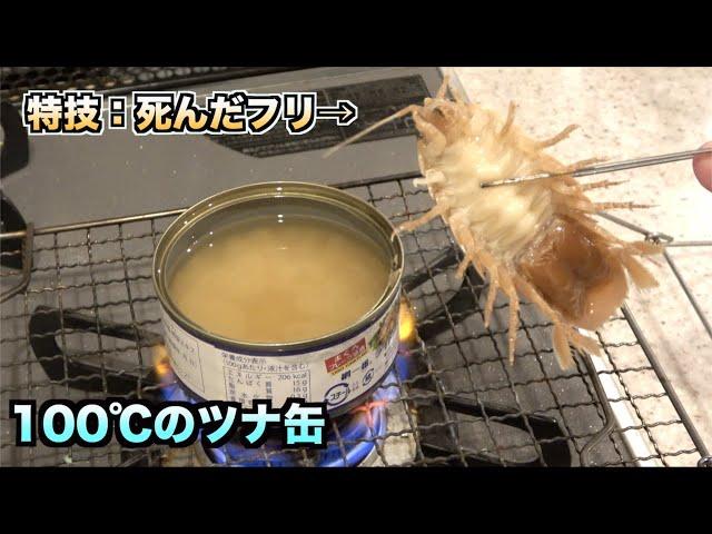死んだフリが得意なオオグソクムシを100℃のツナ缶に入れたら。。。