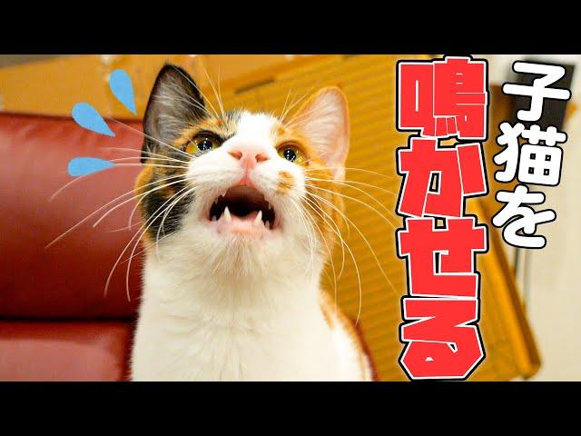 子猫の鳴き声が聞きたかったのでイジワルして鳴かせてみました