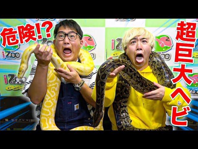 【危険⁉︎】超巨大ヘビをヘビ大嫌いな奴の首に巻いたらオモロすぎたwwwww
