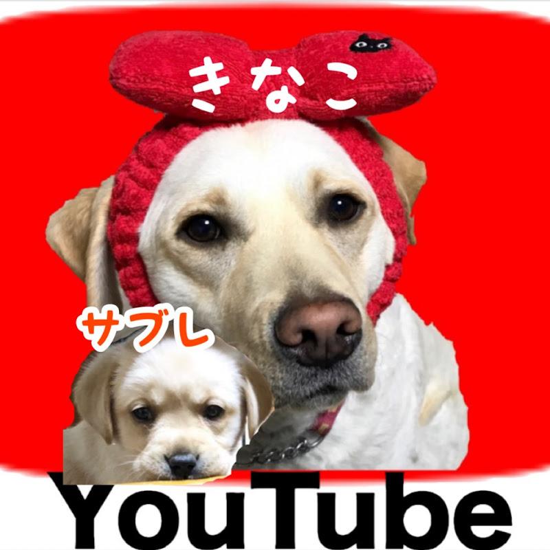 きなこチャンネル Labrador Retriever